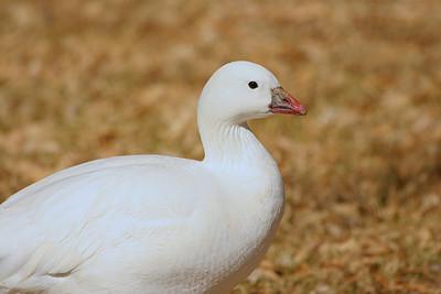 Ross's Goose - Nevada