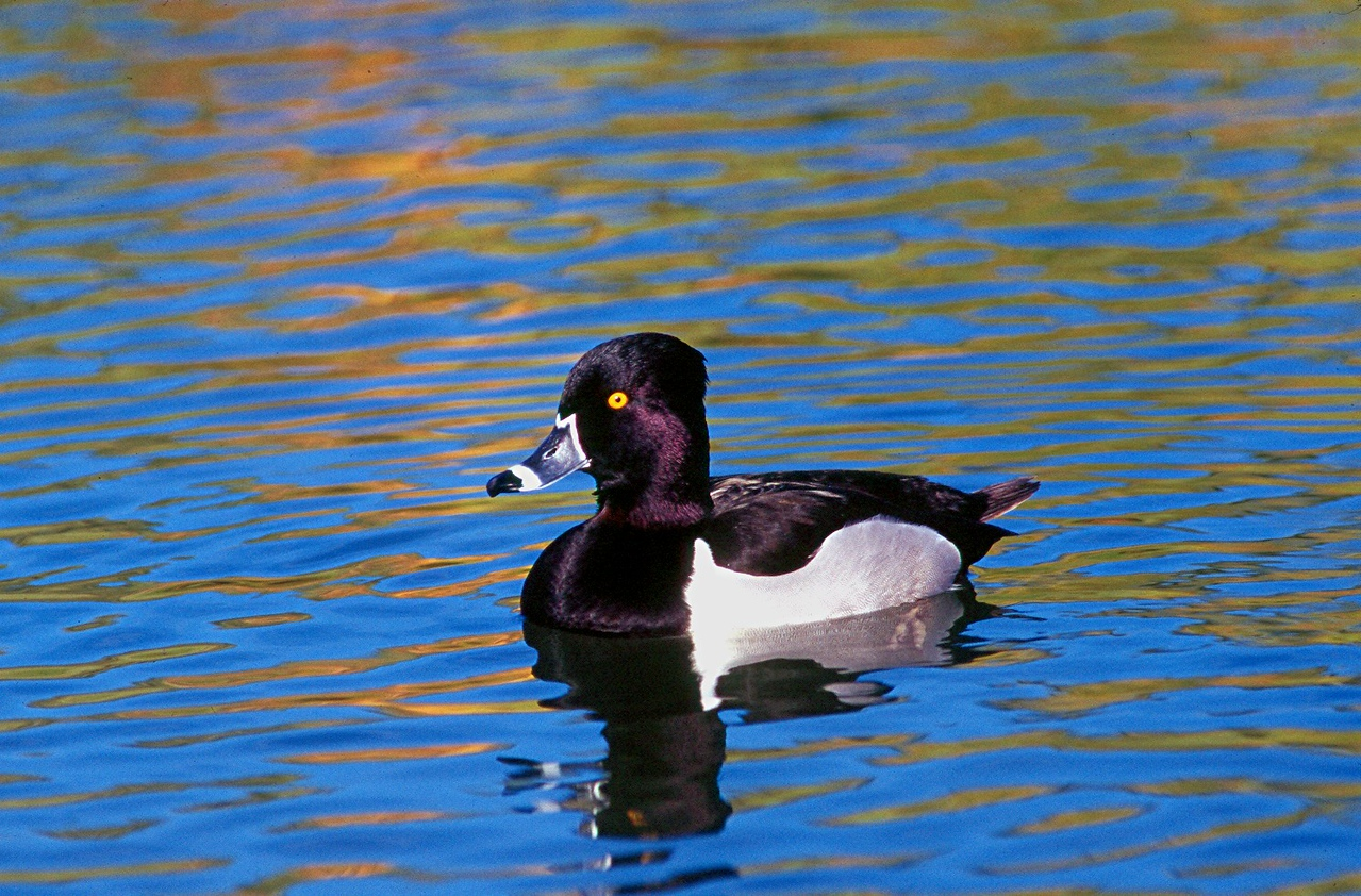 Ring-necked Duck - Arizona