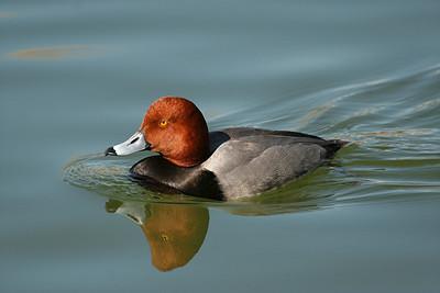 redhead - Nevada