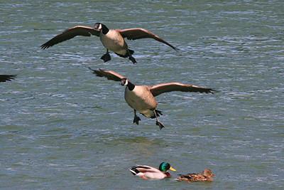 Canada Geese - Pennsylvania
