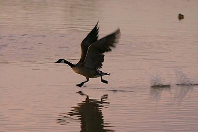 Canada Goose - Arizona