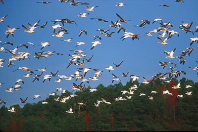 Snow Geese - Maryland