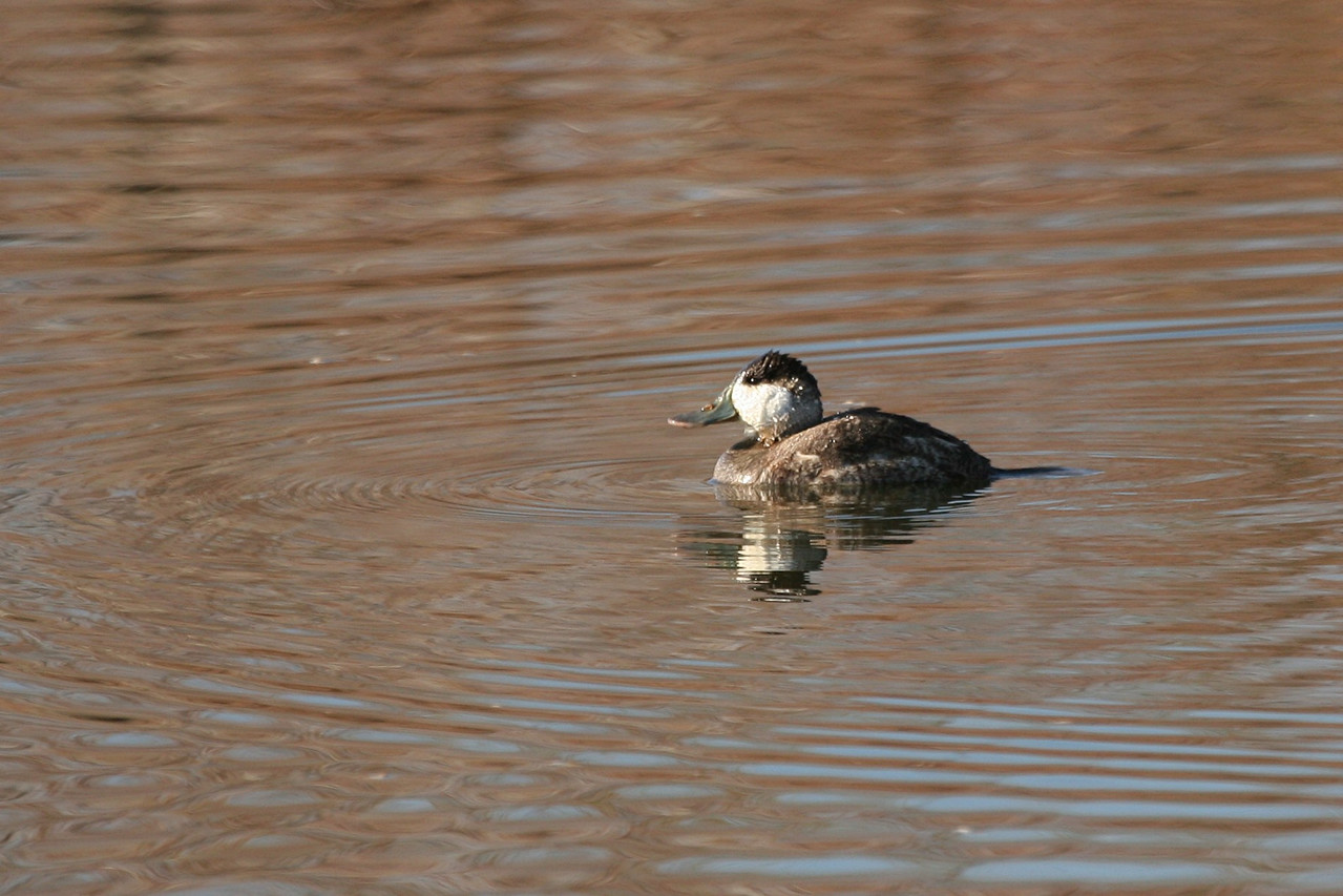 Ruddy Duck - Nevada