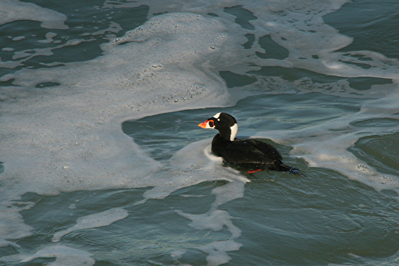 Surf Scoter - California
