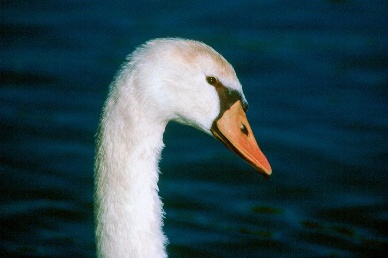 Mute Swan - Maryland