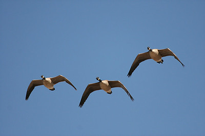 Canada Geese - Nevada