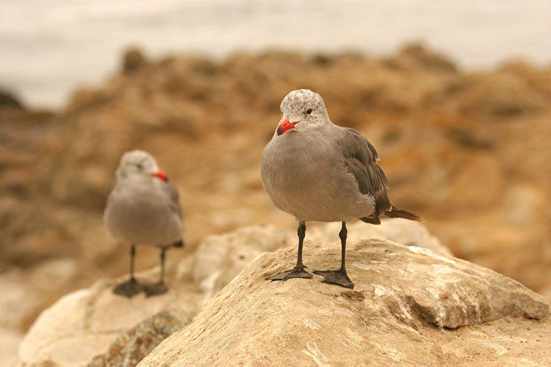 Heermann's Gulls - California