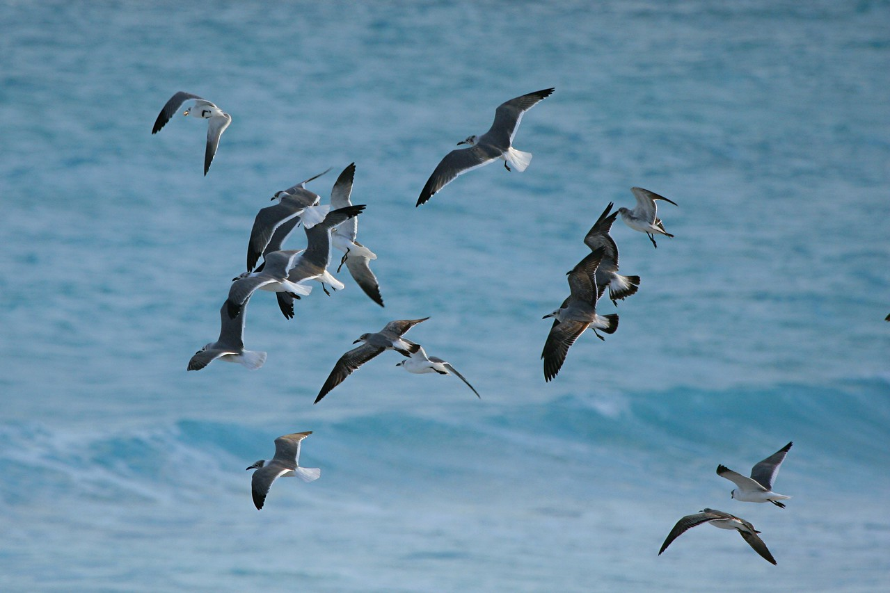 Laughing Gulls - Mexico