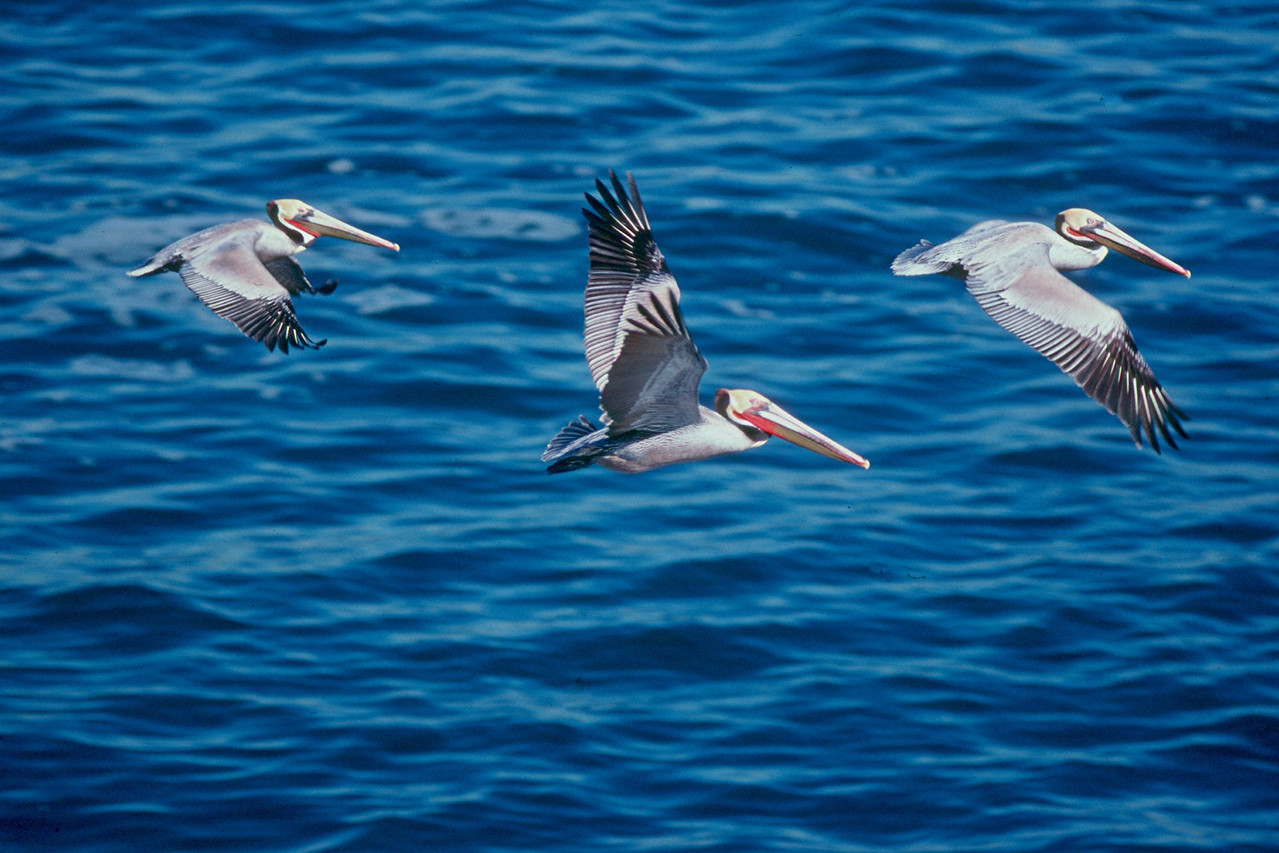 Brown Pelicans - California