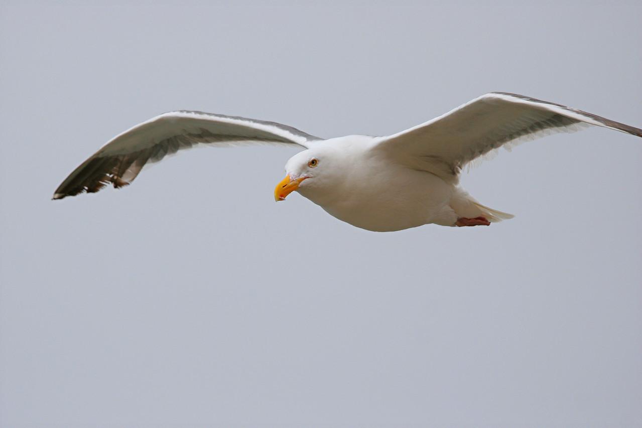 Western Gull - California