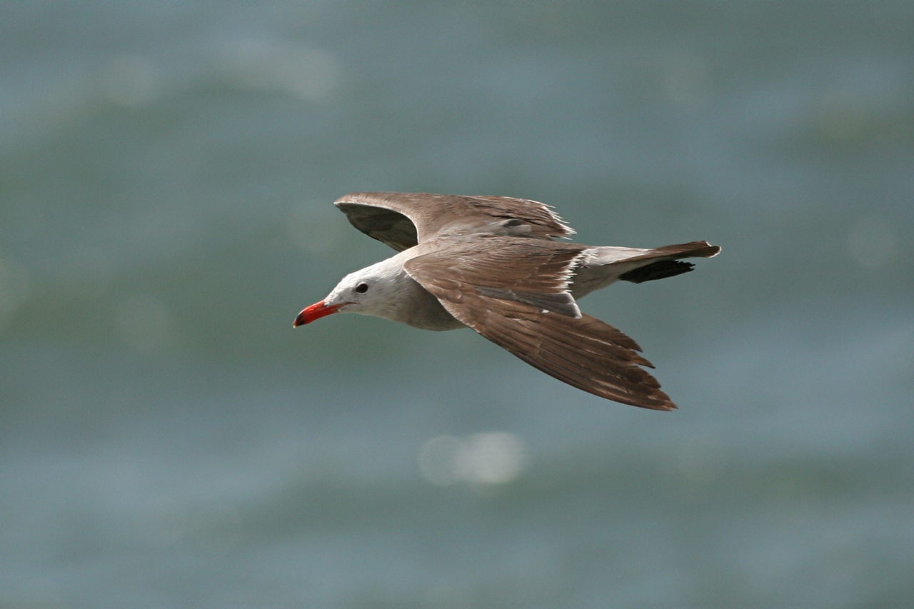 Heermann's Gull - California