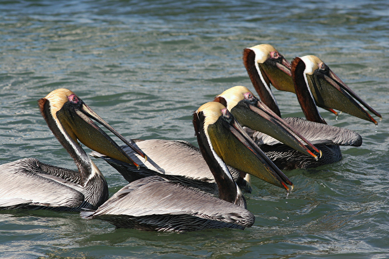 Brown Pelicans - Florida