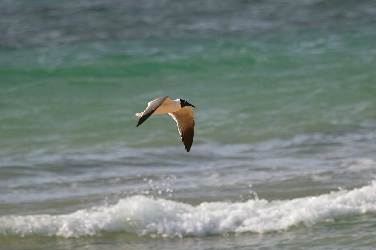 Laughing Gull - Puerto Rico