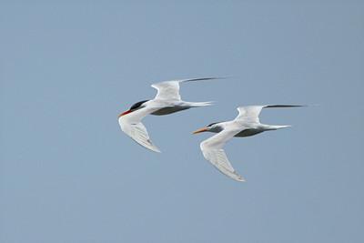 Elegant Terns - California