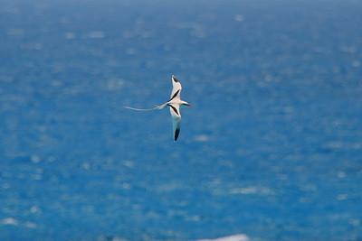 White-tailed Tropicbird - Bermuda