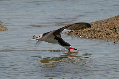 Black Skimmer - California