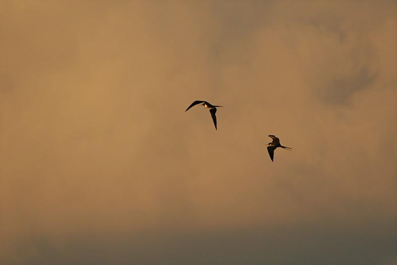 Magnificent Frigatebirds - Mexico