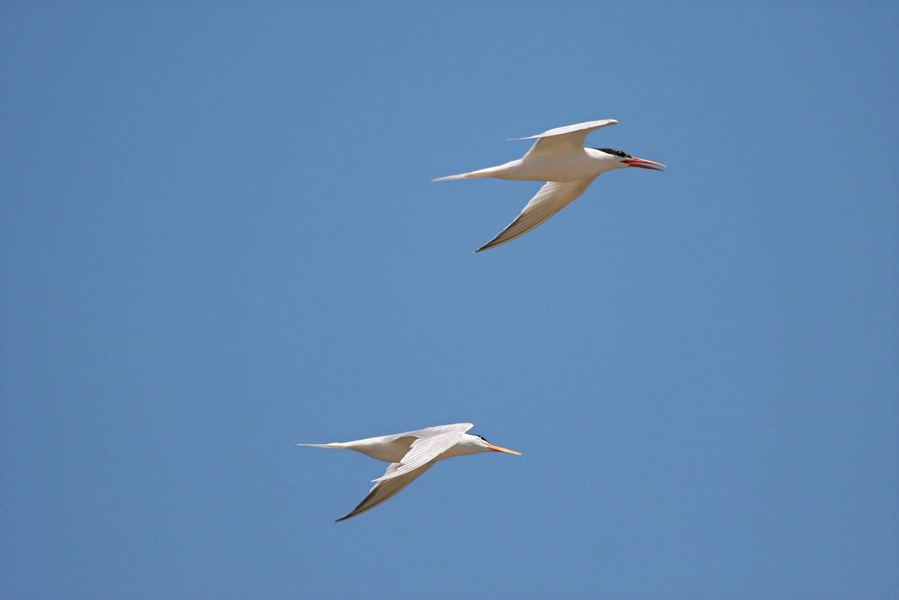Elegant Terns - California