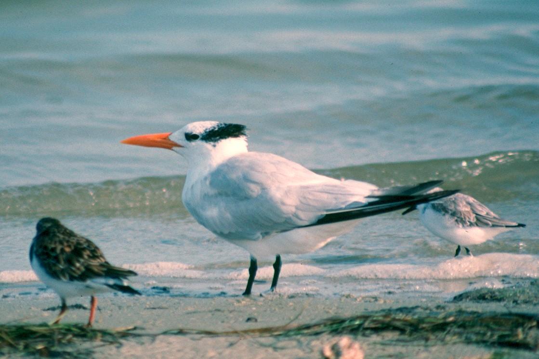 Royal Tern - Florida