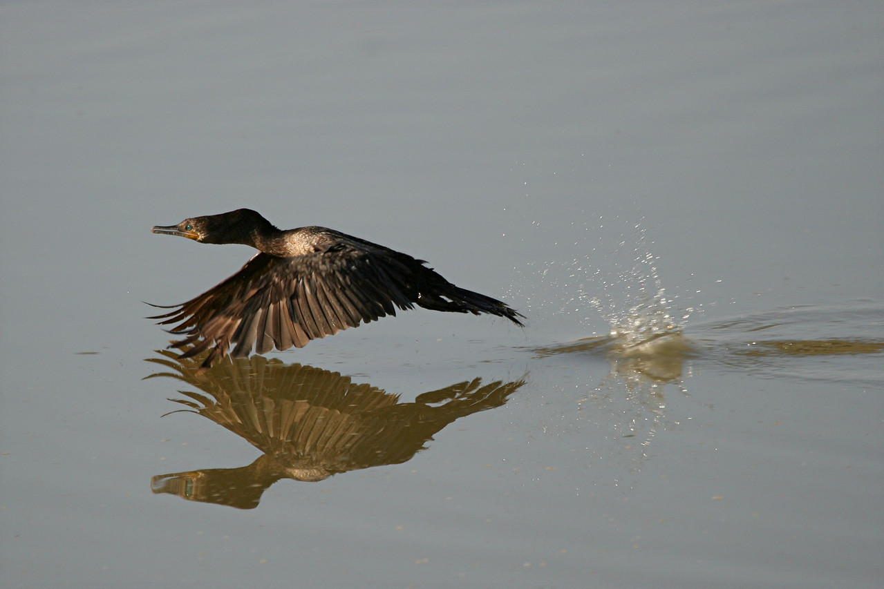 Double-crested Cormorant - Arizona