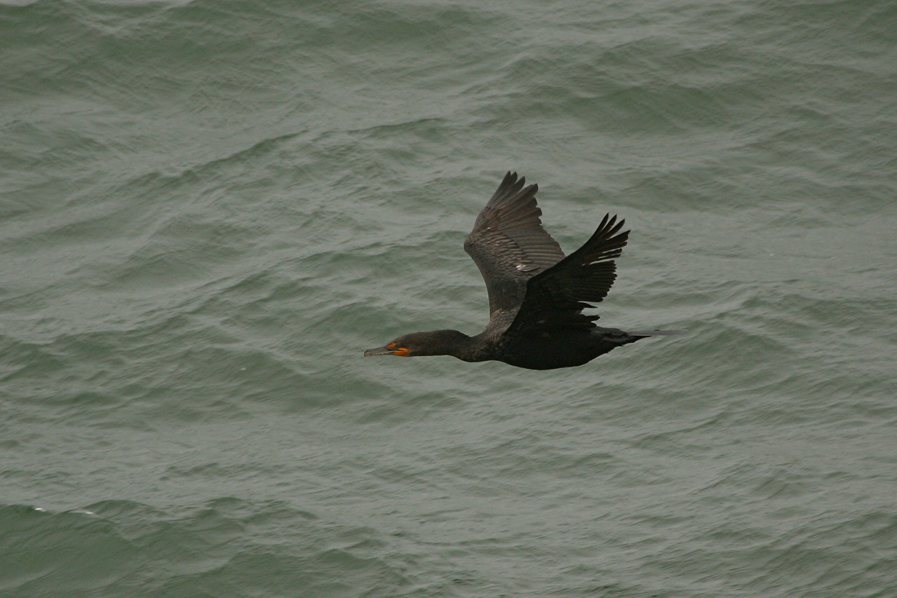 Double-crested Cormorant - California
