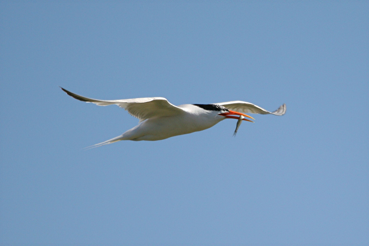 Elegant Tern - California
