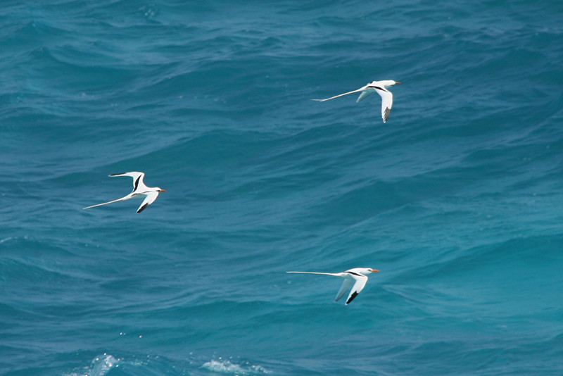White-tailed Tropicbirds - Bermuda