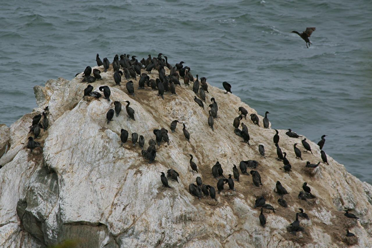 Brandt's Cormorants - California