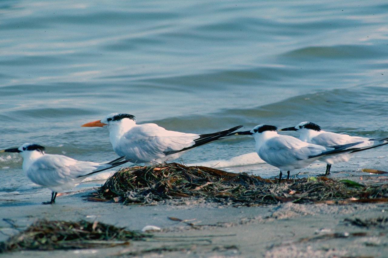Royal Tern and Sandwich Terns - Florida