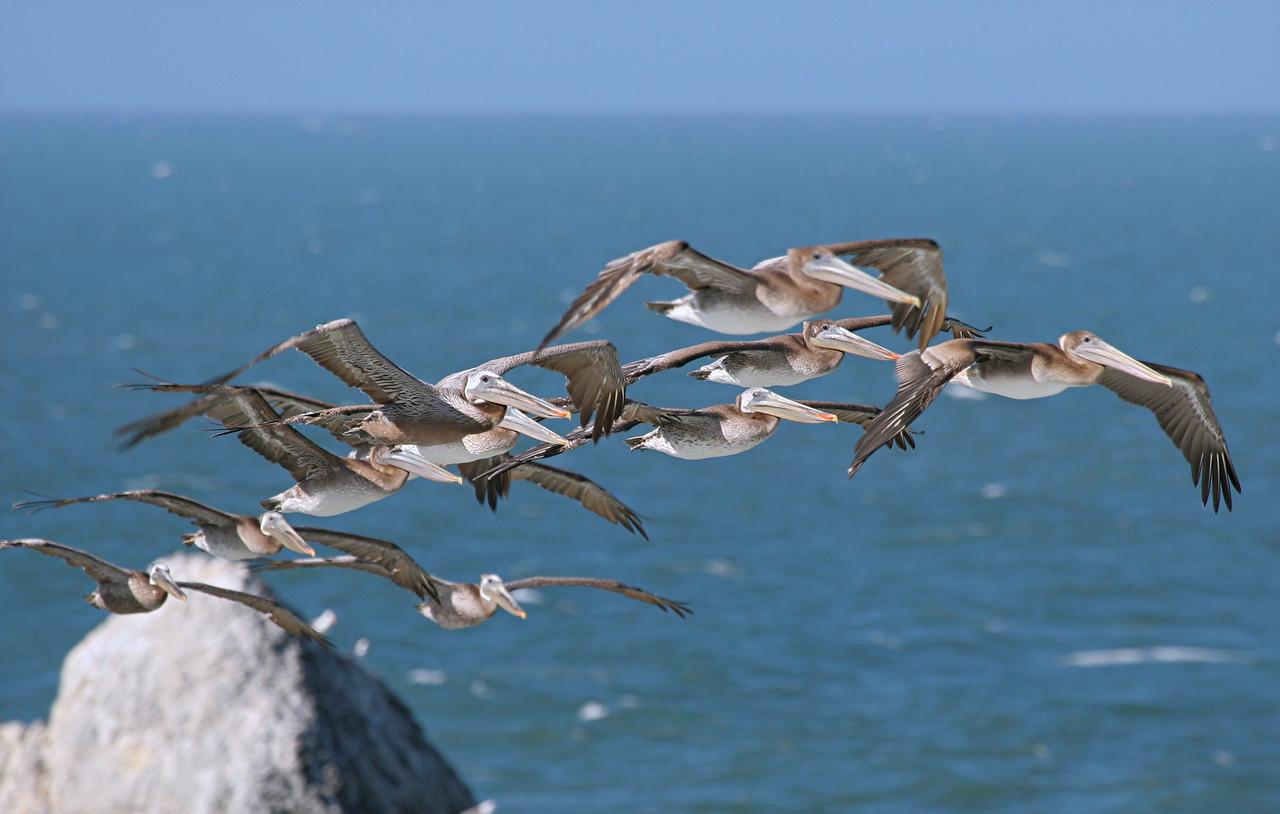 Brown Pelicans - California