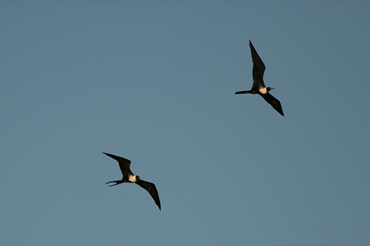 Magnificent Frigatebird - Mexico