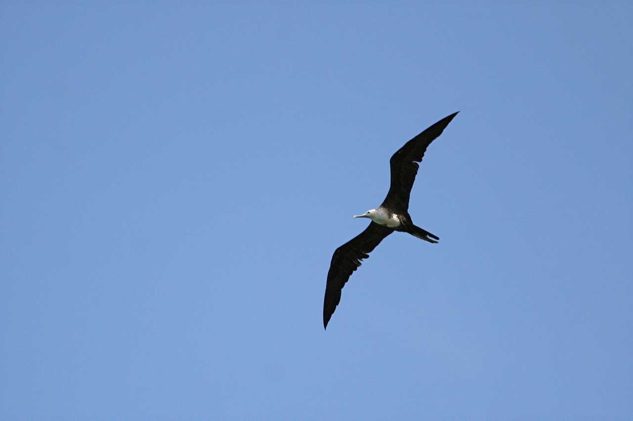Magnificent Frigatebird - Puerto Rico