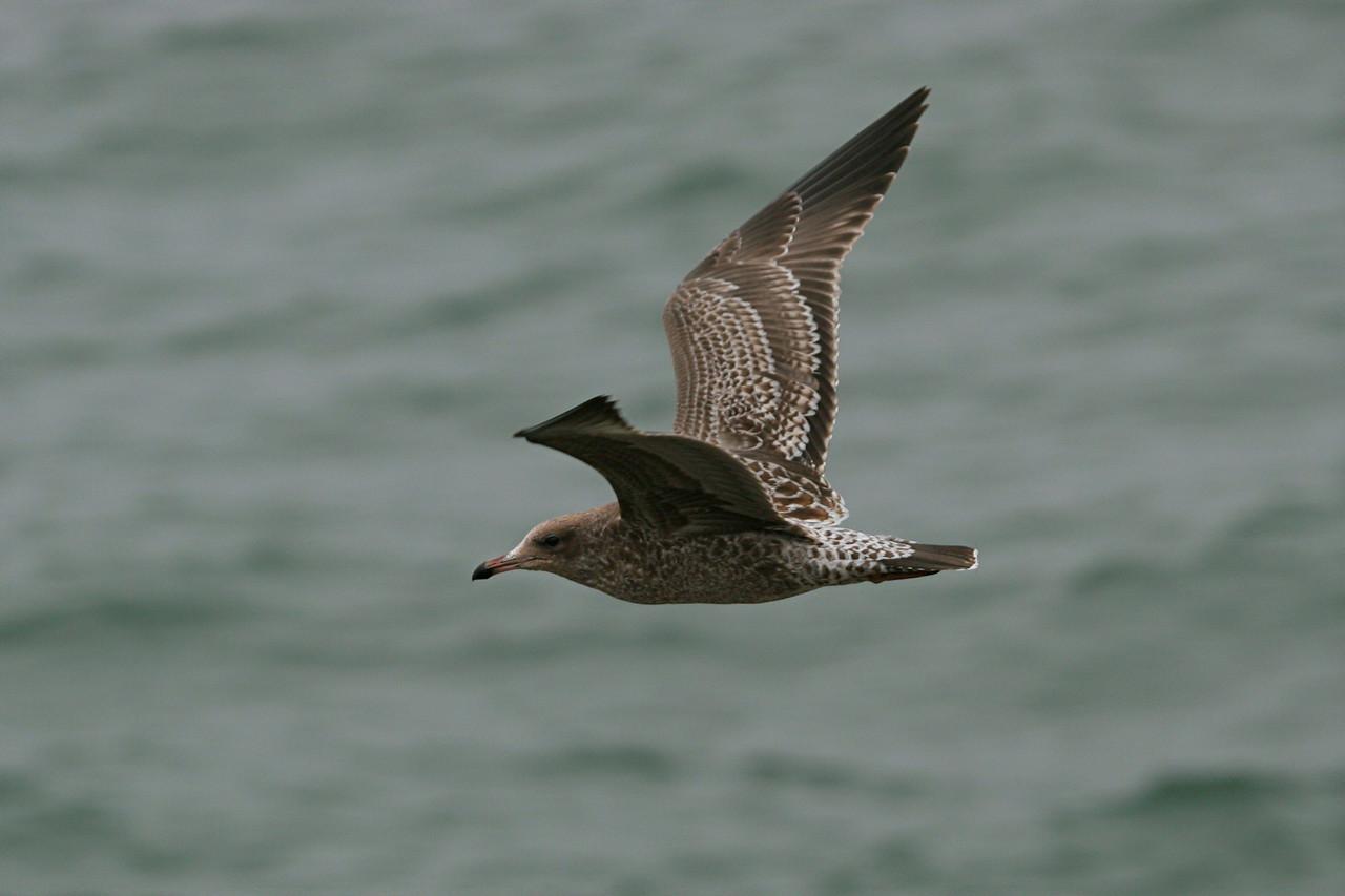 Heermann's Gull - California