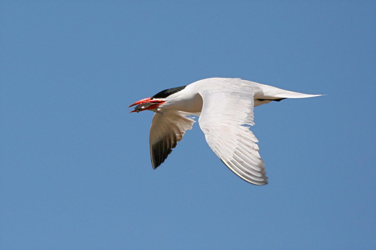 Caspian Tern - California