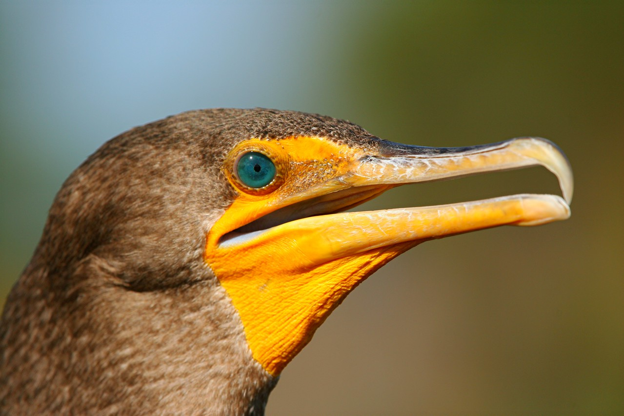Double-crested Cormorant - Florida