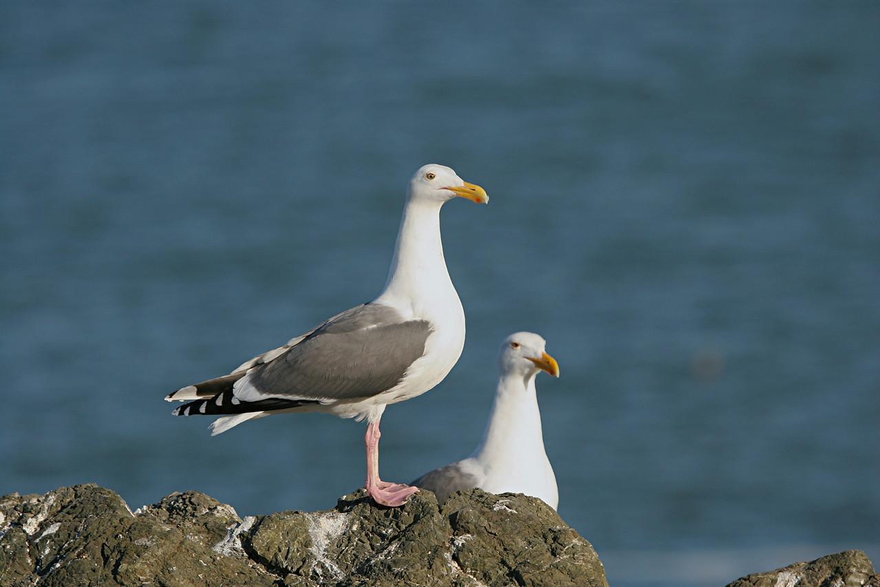 Western Gulls - California
