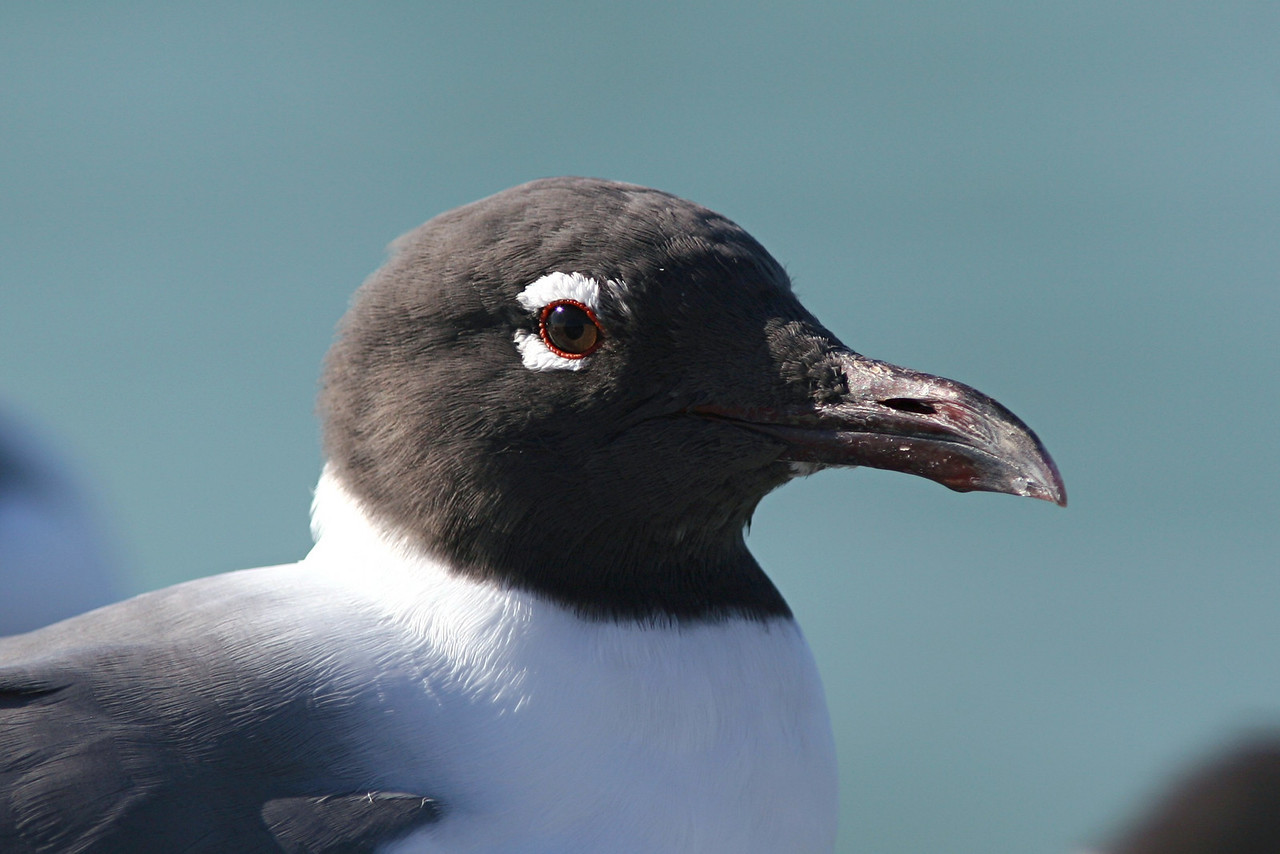 Laughing Gull - Florida