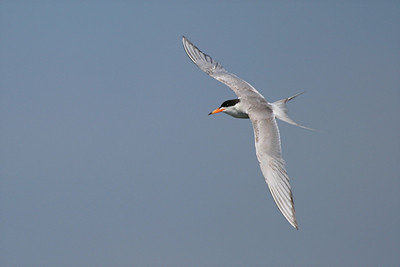 Forster's tern - California