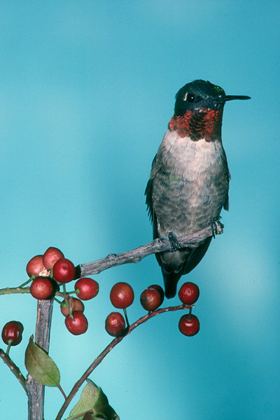 Ruby-throated Hummingbird, male - Pittsburgh, Pennsylvania