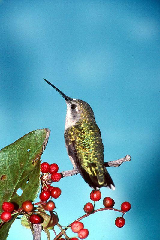 Ruby-throated Hummingbird, female - Pittsburgh, Pennsylvania