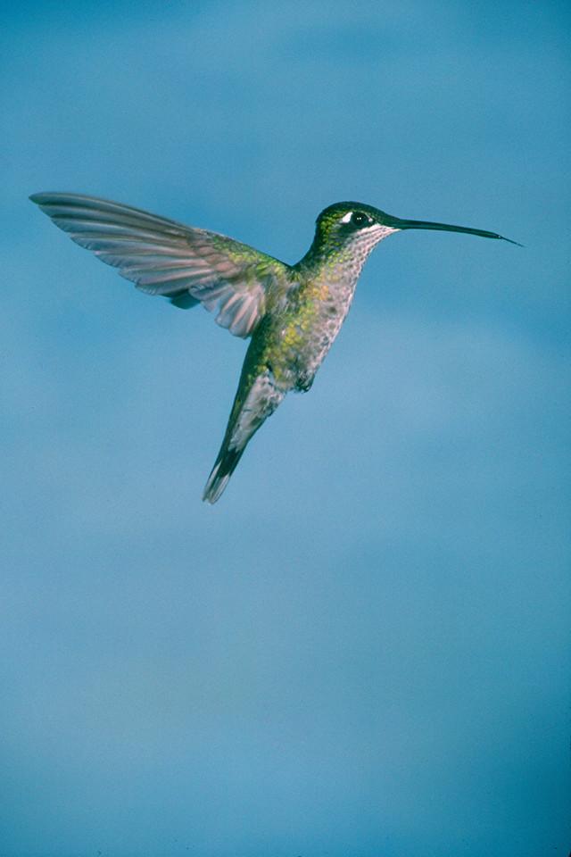 Magnificent Hummingbird, female - Ramsey Canyon, Arizona