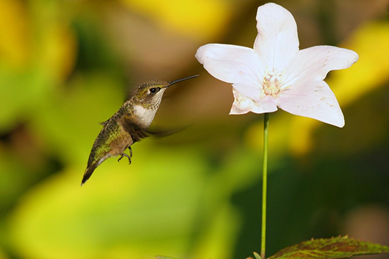 Ruby-throated Hummingbird, immature male - Pittsburgh, Pennsylvania