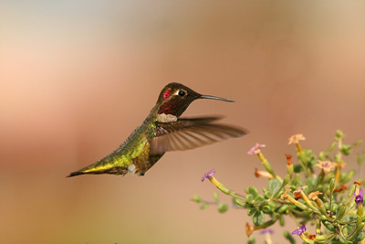 Costa's Hummingbird, male - Phoenix, Arizona