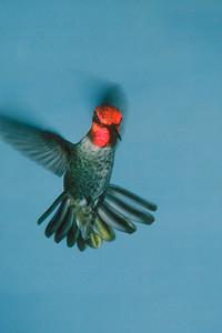 Anna's Hummingbird, male - Ramsey Canyon, Arizona