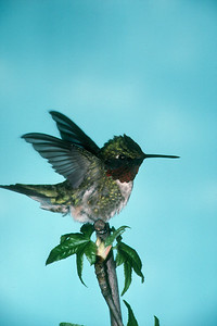 Ruby-throated Hummingbird, male - Pittsburgh, Pennsylvania