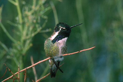 Costa's Hummingbird, male - Saguaro National Monument, Arizona