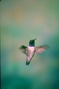 Black-chinned Hummingbird, male - Ramsey Canyon, Arizona