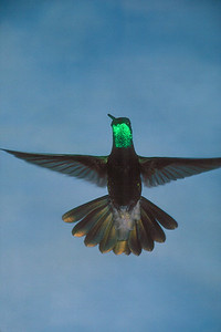 Magnificent Hummingbird, male - Ramsey Canyon, Arizona