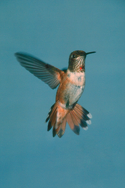 Rufous Hummingbird - Ramsey Canyon, Arizona