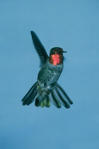 Anna's Hummingbird, male - Ramsey Canyon, Arizona